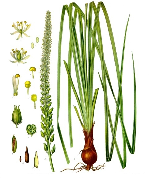 Sabadilla (Schoenocaulon)
